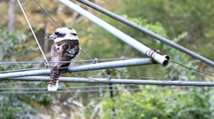 Kookaburra on Clothes Line06 Stock Footage