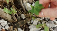 Stock Video Footage of Picking Up Four Leaf Clover