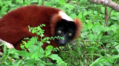 A red-ruffed lemur forages in the shrubbery. - stock footage
