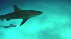 Good footage of a shark swimming underwater. Stock Footage