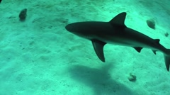 Good footage of a shark swimming underwater. - stock footage