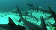 Good footage of many sharks swimming underwater. Stock Footage