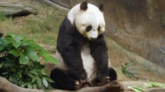 giant panda - stock footage