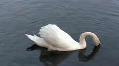 Feeding swan Stock Footage