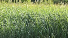 Beautiful Waving Field Of Grass Stock Footage