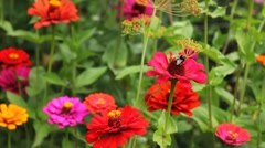 Bumblebee On Red Flower Stock Footage