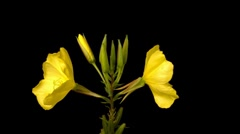 Evening primrose flowers opening time lapse 4:2:2 Stock Footage