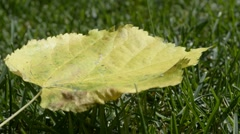 The first yellow leaves on green grass Stock Footage