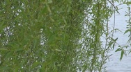 Willow Stock Footage