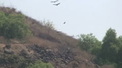 Turkey Vulture:  6 At Once Stock Footage