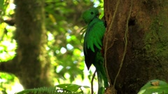 A quetzal parrot at his nest in Costa Rica rainforest. Stock Footage