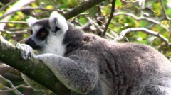 A ringtail lemur rests on a branch. Stock Footage