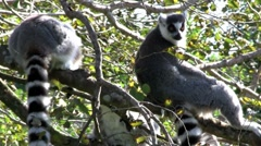 Two ringtail lemurs sit in a tree., ringtailed Stock Footage