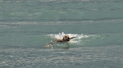 Yellow Labrador Fetching Stick in Waves 2 Stock Footage