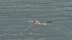 Yellow Labrador Fetching Stick in Waves 1b Stock Footage