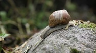 Stock Video Footage of Close up of moving snail