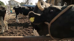 Stock Video Footage of Cow 2