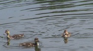 Stock Video Footage of Duck