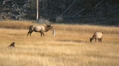 Elk bugling Stock Footage