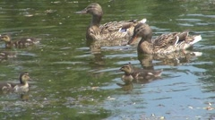 Duck - stock footage