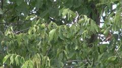 Walnut tree Stock Footage