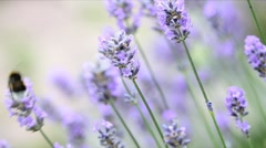 Fresh lavender Stock Footage