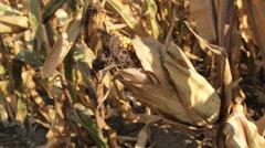 Corn Cob Stock Footage