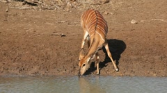Nyala antelope drinking, African wildlife, Mkuze game reserve, South Africa Stock Footage