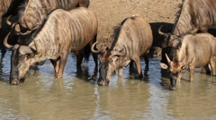 Wildebeest drinking, African wildlife safari, Mkuze game reserve, South Africa Stock Footage