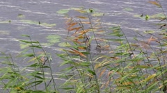 Reed in the wind in the water Stock Footage