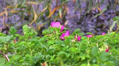 Dog-rose in the wind on the water Stock Footage