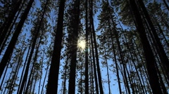 Pine Forest with Sun Stock Footage