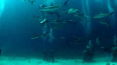 Good footage of many sharks swimming around a diver underwater. Stock Footage