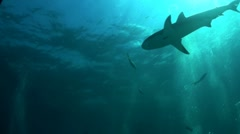 Good footage of a shark swimming underwater, from below. - stock footage