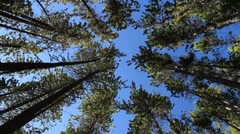 Pine Forest rotation Stock Footage
