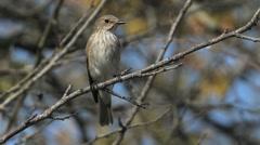 Spotted Flycatcher / Gobemouche-gris Stock Footage