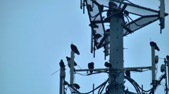 Buzzards on cell phone tower 07 Stock Footage