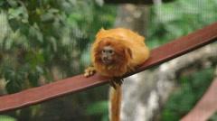 Golden Lion Tamarin Stock Footage