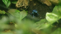 Blue Poison Dart Frog Stock Footage