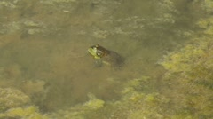 Scared Bull Frog Stock Footage