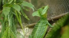 Basilisk Lizard Stock Footage