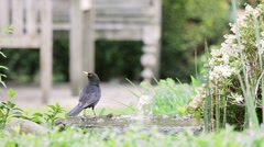 Black Bird in Fountain - stock footage