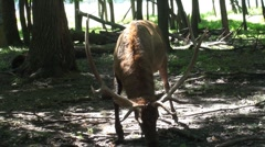 Eating elk with big horns Stock Footage