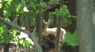 Stock Video Footage of Deer behind trees