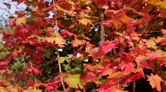 Gorgeous Red Leaves Dolly Shot Stock Footage