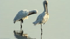 Close up Spoonbills / Spatules blanches se lissant les plumes Stock Footage