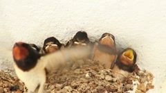 Young swallow's in nest 3 Stock Footage