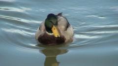 Male Mallard Duck Stock Footage