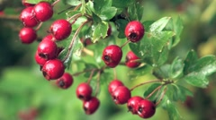 Hawthorn Berries Stock Footage