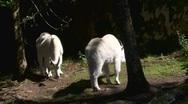 Rocky mountain goat Stock Footage
